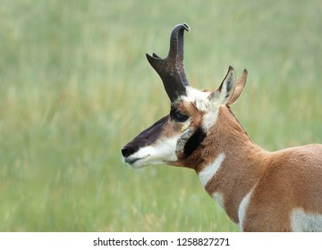 Closeup Image of a Prong Horn Antelope or Deer with an Out of Focus Background