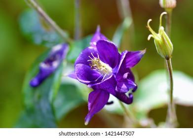 Purple Columbine Flower Images Stock Photos Vectors Shutterstock