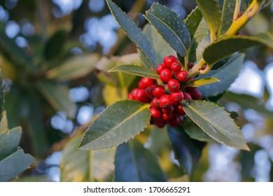 Closeup image of red fruits from common holly (Ilex aquifolium).
