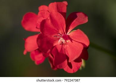 Closeup image of a red geranium flower.