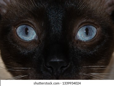 Close-up image of a Siamese cat's striking blue eyes, with an curious stare at the viewer