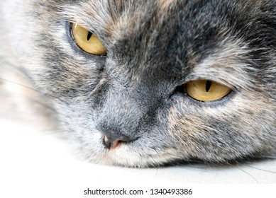 Closeup image of a sleeping grey feline Cat with yellow eyes and fur detail with area for vet and domestic animal based designs and backgrounds