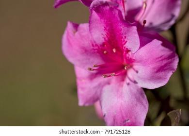 Closeup image of Stamens from an Azalea flower.