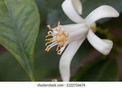 Closeup image of stamens of blossom lemon flower.