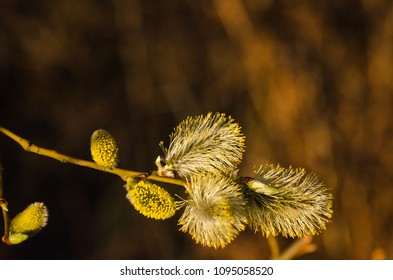 Closeup image of sunlit blossom willow catkins