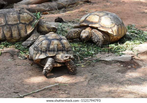 A closeup image of three Aldabra Giant Tortoises ( Scientific Name: Geochelone gigantea)