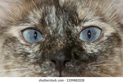 Close-up image of a tortie point Siamese cat's striking blue eyes, with an curious stare at the viewer