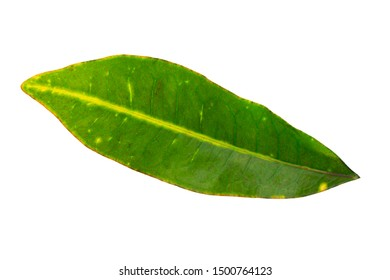 Closeup image of tropical green leaf isolated at white background.
