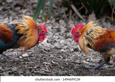Close-up image of two wild roosters fighting with neck feathers up in the Western Spring park in Auckland