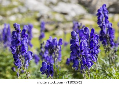 Close-up image of violet high altitude wildflowers (Aconitum napellus) against a rocky background in the Cirque de Troumouse
