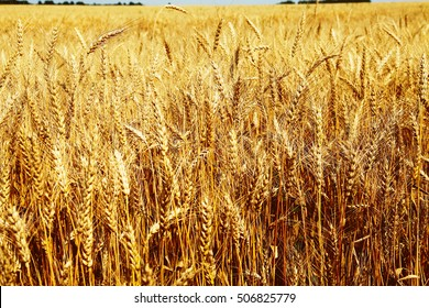 Closeup image of wheat field