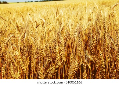Closeup image of wheat field
