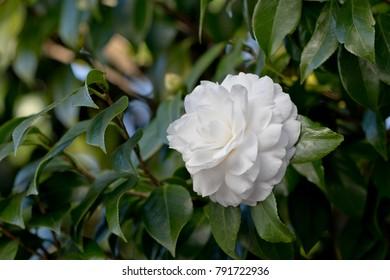 Closeup image of a white flower Camellia sasanqua