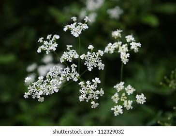 Closeup image of white Sweet Cicely flowers (Myrrhis odorata)