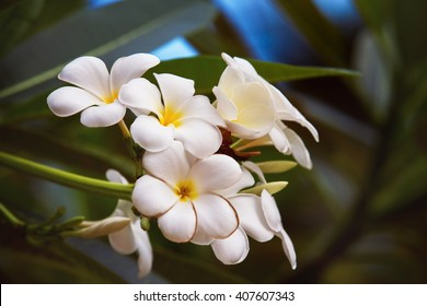 Closeup image white of tiare flowers at green outdoors background.
