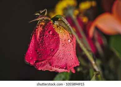 Closeup image of a wilted rose with water droplets on its petals