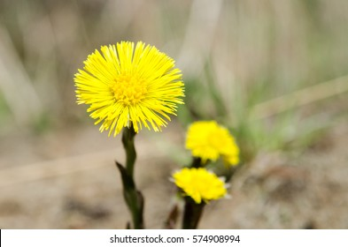 closeup image of yellow spring flower like a sun. single coltsfoot flower blossom close-up view. Tussilago farfara.