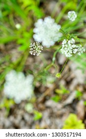 Close-up image of young Queen Anne's Lace (Daucus carota) plant in a forest.