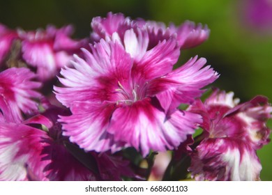 Close-up images of White and dark pink Blooming flower