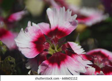 Close-up images of White and dark pink flower
