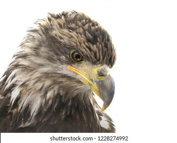 Closeup of an Immature Bald Eagle Isolated on White