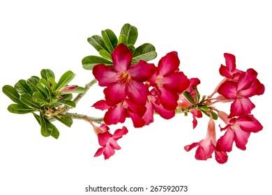 Close-up Impala Lily or  desert rose or Mock Azalea isolate on white background