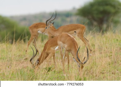 "Closeup of Impala (scientific name: Aepyceros melampus, or ""Swala pala"" in Swaheli) in the Tarangire,  National park in the East African country of Tanzania"