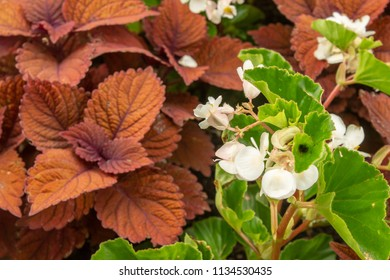 Closeup of Impatiens flanked by brown leaves