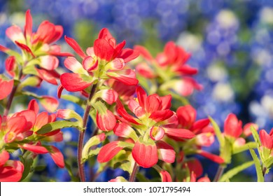 Close-up of Indian Paintbrush wildflowers. Texas bluebonnets in the background. Shallow depth of field.