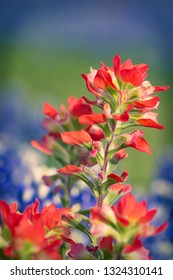 Close-up of Indian Paintbrush wildflowers. Texas bluebonnets in the background.