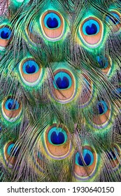Closeup of Indian peacock tail feathers (Pavo cristatus), vertical