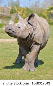 Closeup of Indian rhinoceros (Rhinoceros unicornis) seen from front
