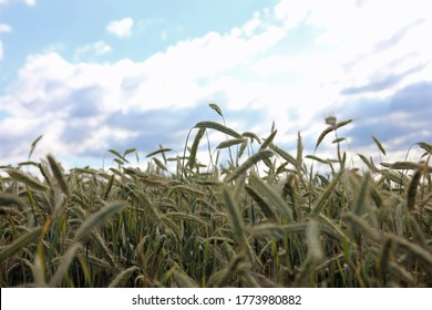 Closeup of individual stalks of wheat on grain field ready for harvest with cloudy sky