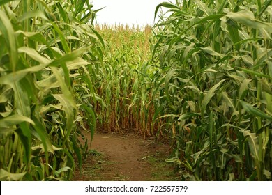 Closeup inside a corn maze where a narrow dirt path turns left with tall corn stalks on all sides giving you a feeling of being lost, or trapped, inside this family fun maze.