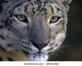 closeup of an intense looking snow leopard