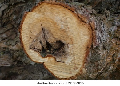 Close-up of the interface of a cut off branch on a tree trunk