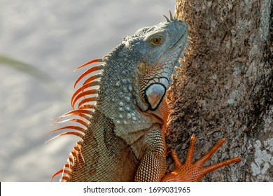 Closeup of an invasive orange and blue colored American Green Iguana found in South Florida at the Asian Morikami Gardens in Palm Beach. An herbivore species of cold blooded lizard found wild or pet