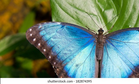 Close-Up of Iridescent Blue Morpho Butterfly on Green Leaf in 16:9 Aspect Ratio