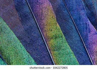 Close-up of iridescent feathers of european magpie tail. Bird feather texture. Beautiful multicolor feathers of european magpie as a background.