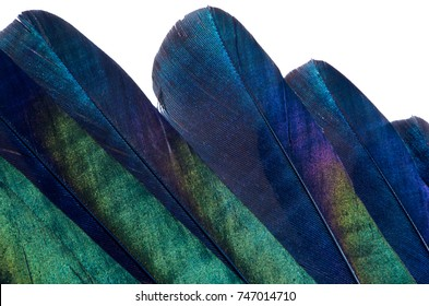 Close-up of iridescent feathers of tail of european magpie isolated on white background. Bird feather texture. Beautiful multicolor feathers of european magpie as a background.