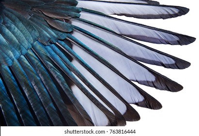Close-up of iridescent feathers of wing of european magpie isolated on white background. Bird feather texture. Beautiful multicolor feathers of european magpie as a background.
