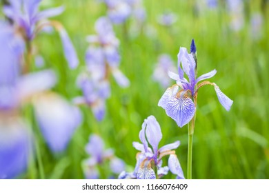 Close-up of Iris sibirica, common name Siberian Flag or Siberian Irises, with a vibrant green background.
