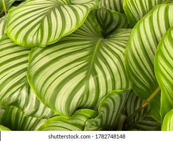 Closeup of isoalted leaves of tropical prayer plant (calathea orbifolia) with unique yellow and green pattern (focus on center)