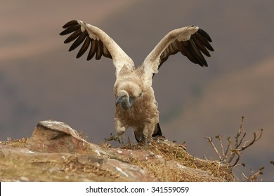 Close-up, isolated, adult Cape vulture,Gyps coprotheres, with outstretched  wings on the edge of the rock in the morning light against distant, blurred Drakensberg mountains in background.