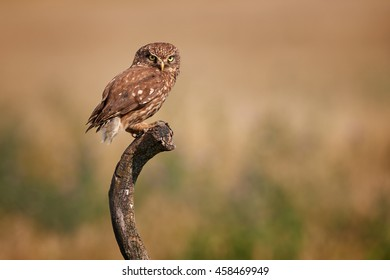 Close-up, isolated adult Little owl, Athene noctua, perched on old trunk, staring directly at camera against colorful grassland in background. Side view, Europe.