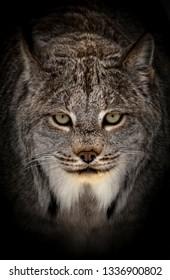 A Closeup of an Isolated  Bobcat Head in Dark Shadows