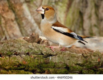 Close-up, isolated Coccothraustes coccothraustes sitting on  mossy branch against tree bark background. Colorful female of Hawfinch, songbird with huge beak from side view. Winter, Europe.