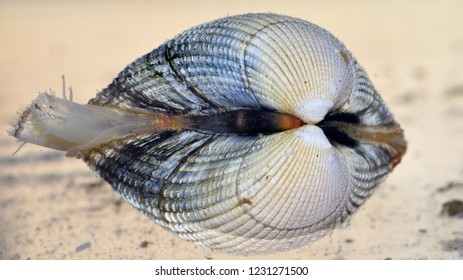Closeup of an isolated common cockle (Cerastoderma edule) with the siphons out. The picture of this marine bivalve taken in northern Norway