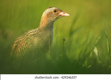Close-up, isolated Corncrake, Crex crex, very shy rail, uncommon bird of european grasslands, staring from grass in mating season, springtime. Endangered specie in Europe, Czech republic.