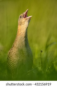 Close-up, isolated Corncrake, Crex crex, very shy rail, uncommon bird of european grasslands, calling in grass in mating season, springtime. Vertical photo of endangered species, Czech republic.